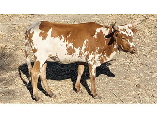PUREBRED LONGHORN Yearling Heifer kind  gentle needs a good home 650 Other yearling longhorn c