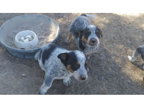 PUPPIES 675 rehoming fee Ready now Price reduction of 200 if you come get them 805-620-8541