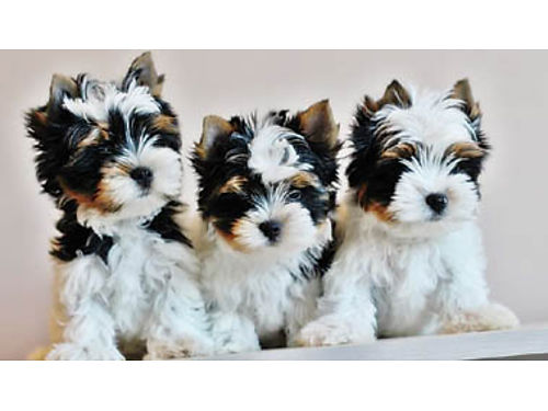 TINY TEACUP YORKIE TERRIERS & PARTÍ YORKIES. ...