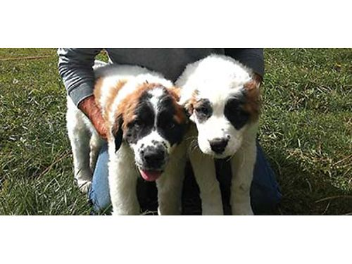 ST BERNARD GREAT pyranees mixed puppies 650 509-429-6555