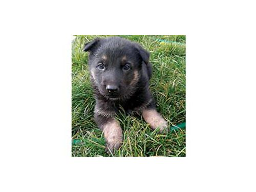 GERMAN SHEPHERD PUPPY Pure Breed 1st shots 6 weeks old 450 OBO 509-845-4397