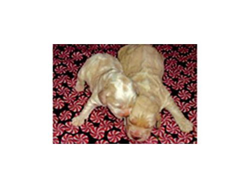 GOLDEN Doodle puppies parti colored or cream beautiful Dont miss out our puppies go fast Takin