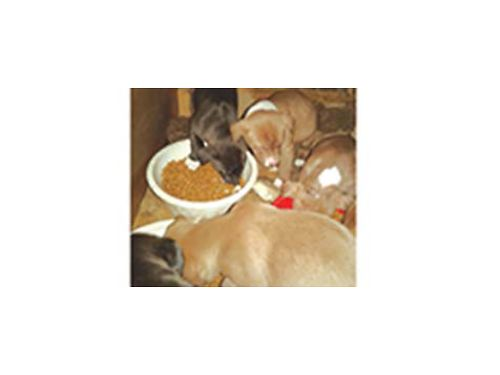 FRENCH Mastiff mix puppies 5 males 2 black  3 fawn 1 female fawn approximately 2 months old