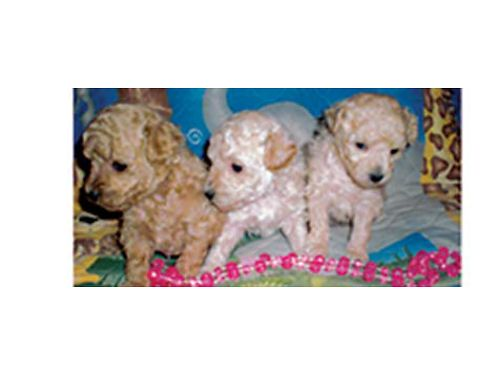 TOY POODLE PUPPIES CKC Registered litter 3 females White Beige chocolate ready to go 2-14-17