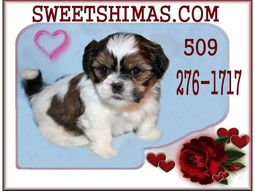 A Gift Of Pure Love SHIMA PUPPIES FOR SALE Sweetshimascom Home raised by 22 grandmothers 3-10