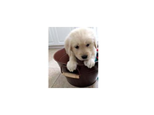 AKC Golden Retriever puppies Part English White Have first shots dewormed pad trained Ready for