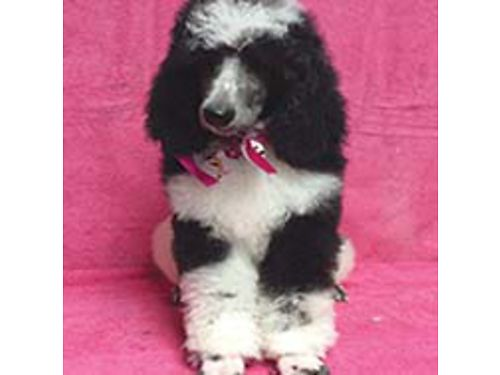 AKC STANDARD POODLE PUPS BlkSilBlu Parti Color males 600 female 7003 X worming Vet Health C