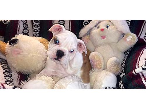 SMOOSHY FACED WRINKLY AKC Registered Champion bloodline English Bulldog female puppy Shots and wor