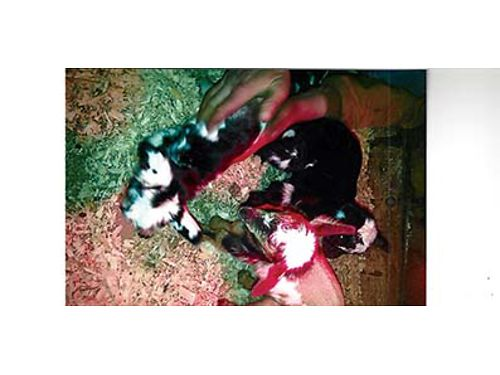NIGERIAN GOATS  very small purebred babies 4 to 5 months old 1 male 4 felamles very healthy