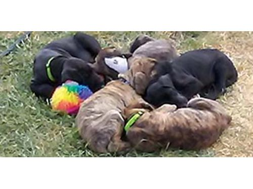 GREAT Dane Puppies for sale 7 weeks oldful blooded and in excellent health They all have had thei