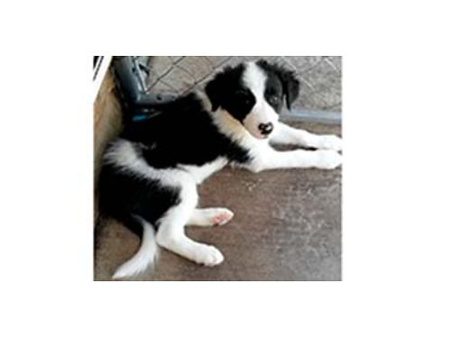 REGISTERED ABCA Border Collie Puppies 2 males black white rough coat 2 males
