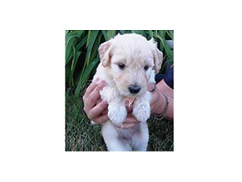 GOLDENDOODLE puppies raised in a small pack at our doggie daycare hypoallergenic puppies are very