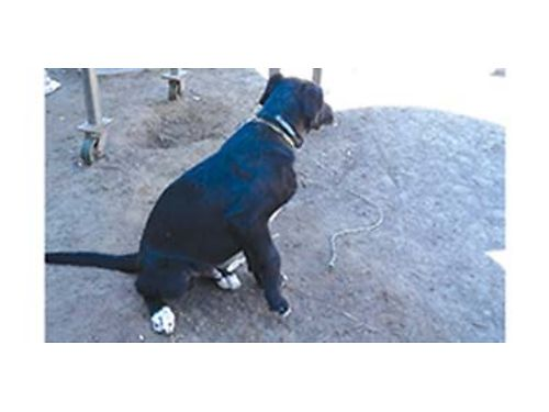 5 MONTH old Black Lab very friendly needs a good home 150 509-793-4408