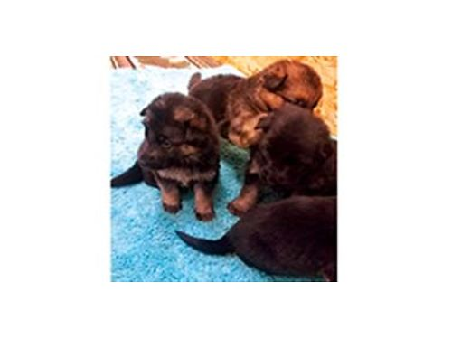 HI I just had a litter of German Shepherd puppies 5 males 4 females pups are born very healthy D