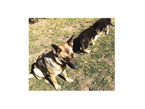 GERMAN Shepherd puppies 450 each Mama is registered but father is not Parents onsite Othello