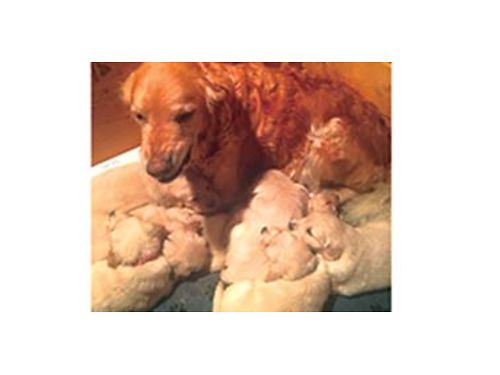 AKC Golden Retriever puppies Part English Ready December 23rdTaking deposits to hold Have first