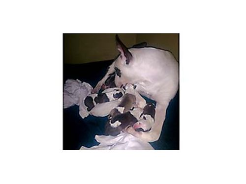 AKC Registered Bull Terrier pups will be ready December 24th Females 2000 OBO Males 1500 OB