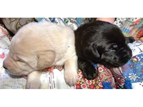 AKC registered Labrador Retriever puppies 5 yellow 5 black dewormed shots vet check 500 call