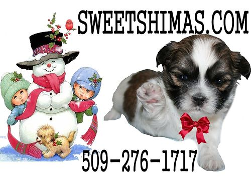 SHIMA PUPPIES FOR SALE Sweetshimascom Home raised by 22 grandmothers 3-10 lbs grown non-shed h