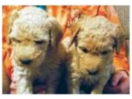 PUPPIES, DOUBLE DOODLES, RAISED IN OUR HOME ...