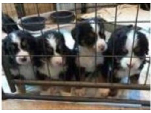 BERNESE MOUNTAIN DOG PUPPIES Purebred we have 5 girls 1 boy vet checked vaccinated wormed  de