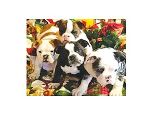 BEAUTIFUL Old English Bulldog puppies Registered started on potty training home raised very lov