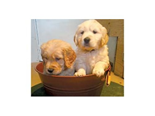BOY and girl Golden Retriever pups AKC Limited part English White Ready to go 24th 1000 More i