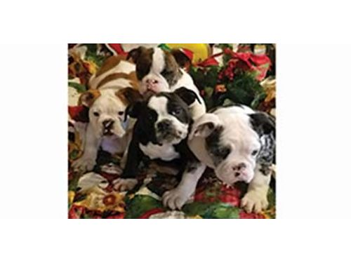 BEAUTIFUL Old English Bulldog puppies 509-671-7273 Registered started on potty training home rai