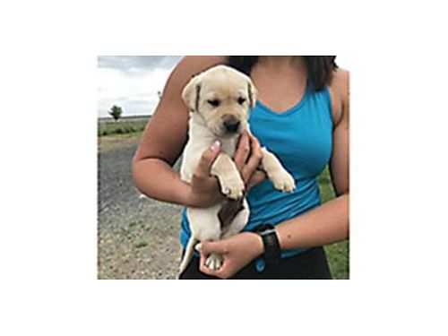 AKC Yellow Lab Puppies Sired by performance titled stud GMHR North Countrys Tater Chip SH Dam fro
