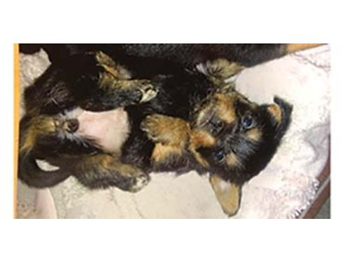 VERY tiny 12 purebred yorkie half Rat-Cha hybrid Nine weeks old They have shots and have been wo