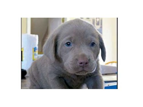 AKC Silver Lab pups born July 23rd excellent blood line males and females available great family d