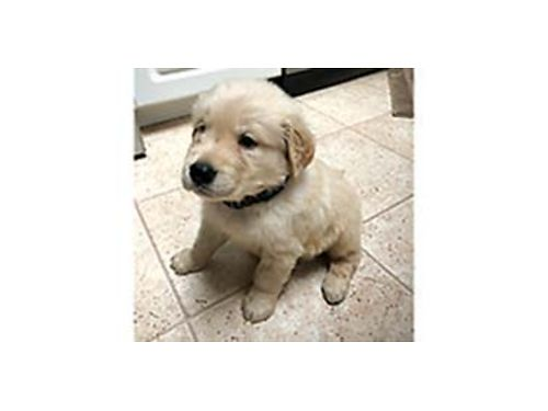 AKC Golden Retriever part English White first shots dewormed pad trained mellow 1000 509-76