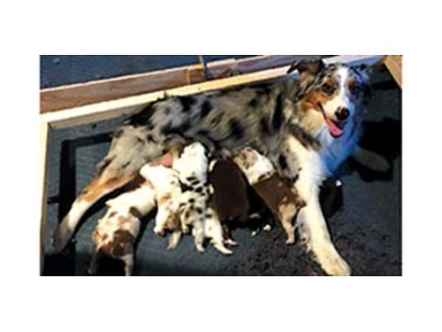 AUSTRALIAN SHEPHERDS reserve now Available November 3rd parents from champion  health certified