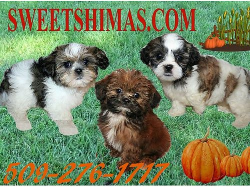 SHIMA Puppies are adorable pumpkins Home raised by 22 grandmothers 3-10 lbs grown non-shed hypo-