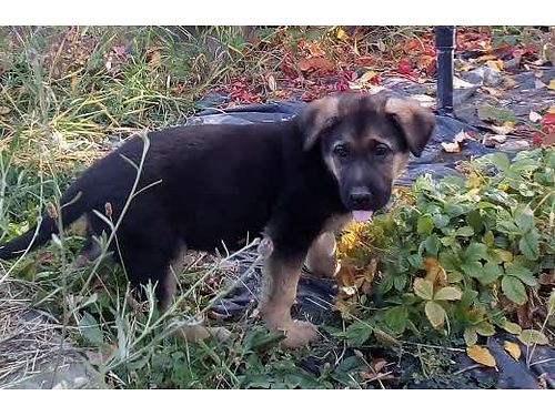 GERMAN SHEPHERD PUPS males  females purebred with no papers born Aug 23rd 1st shots and wormed