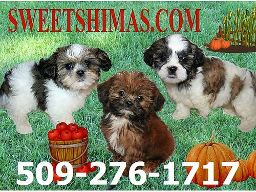 SHIMA Puppies are adorable Angels Home raised by 22 grandmothers 3-10 lbs grown non-shed hypo-al