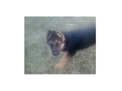GERMAN SHEPHERD REGISTERED Puppies ready to go 250 OBO without papers with papers is more For mo