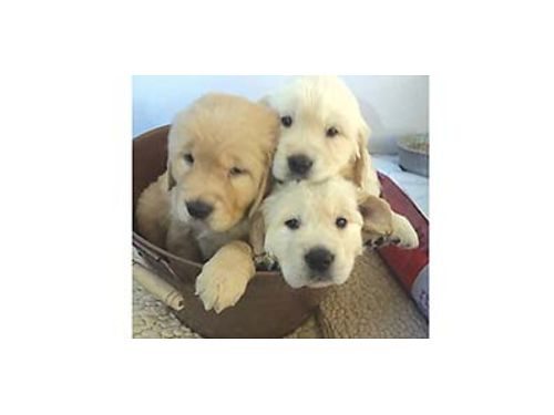 REGISTERED AKC GoldenEnglish white Retriever pups first shots pad trained great family pet 10