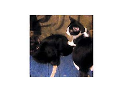 MINIATURE kittens and one regular size from a different litter all are black with small white chest