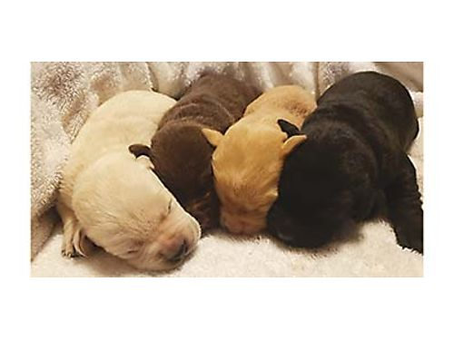 AKC LABS Yellow chocolate white and black available Great coats and dispositions dewclaws remov