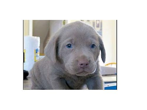 AKA SILVER LAB PUPS BORN January 3rd exc blood line 4 Males 1 Female available great family  wo