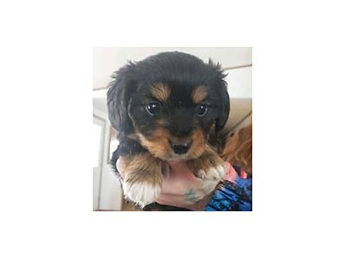 YORKIE DACHSHUND PUPPIES Dad is party color Yorkie mom is long haired dachshund 2 boys 11 weeks o