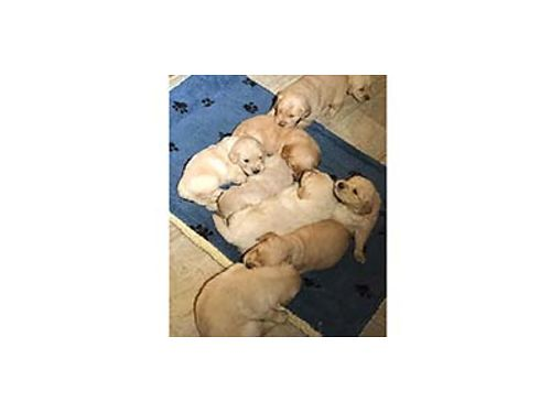 BEAUTIFUL Golden English white Retriever pups Mom and dad on site Limited Showing soon 900 Pi