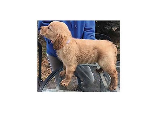 GOLDENDOODLE PUPPIES First shots dewormed and litter box trained Born February 3 2019 650 509