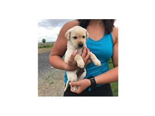 QUALITY AKC Yellow Lab puppies Sire is titled GMHR Grand Master Hunting Retriever Dam from Engli