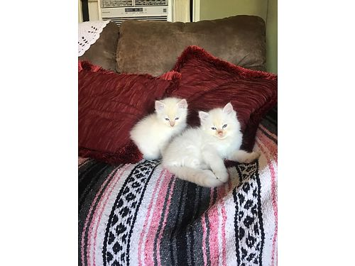 RAGDOLL kittens 1st shots and wormed born march 13th 400 each 706-547-7661