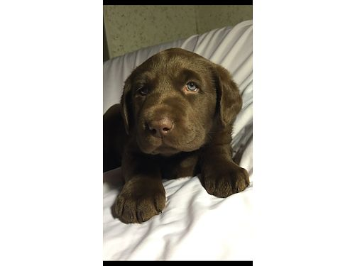 AKC Labrador Retriever Pups Chocolate  Black Championship Bloodline Limited Registration 975each F