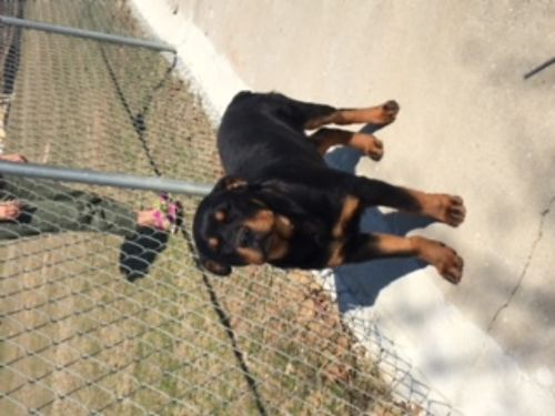 ROTTWEILER PUP 3mos old full blooded male AKC registered 1st sw tails docked parents on site 8