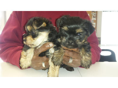 MORKIE PUPS born January 10th ready feb 27th 1 male 1 females 650 for more photos search 2964647