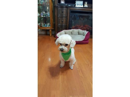 Toy Poodle 1yr Old Male Potty Trained Shots UTD 600 803-640-0142